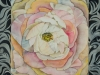 Garden Ranunculus